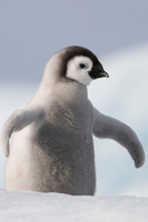 pinguino-happy-feet